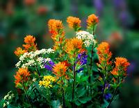 V00248M.tif   Mixed wildflowers, mostly Indian Paintbrush. Bird Creek Meadows, Washington