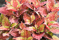 Coleus 'Indian Summer' Solenostemon annual foliage plant showing many leaves and stems in detail