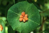 Jelängerjelieber, Je-länger-je-lieber, Je länger je lieber, Wohlriechendes Geißblatt, Lonicera caprifolium, Italian Honeysuckle