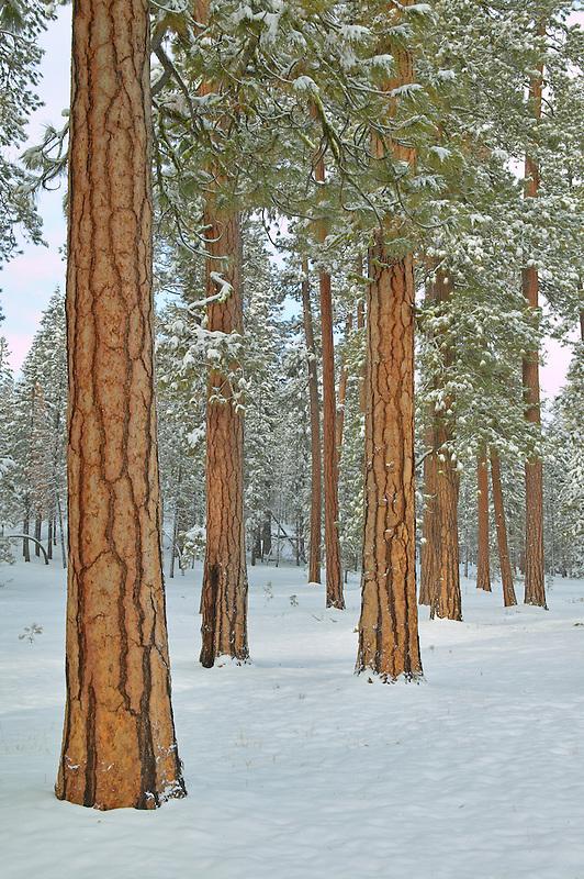 Ponderosa Pine trees and snowfall. Near Klamath Falls, Oregon