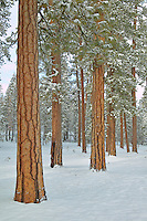 Ponderosa Pine trees and snowfall. Near Klamath Falls, Oregon