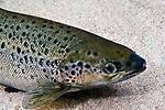 Landlock Atlantic Salmon, Lake Winnipesaukee, NH, close-up female
