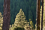 Sunlight on pine trees in a Montana forest