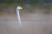 Whooper Swan (Cygnus cygnus). Varanger Peninsula, Norway. June.