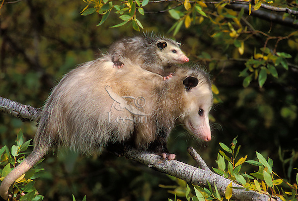 VIRGINIA OPOSSUM - Mom with youngster..Pacific Northwest, North America..Autumn. (Didelphis virginiana)..