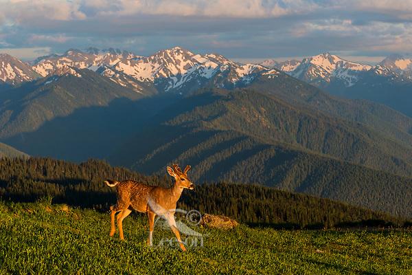 Coastal Black-tailed Deer Buck or Columbian black-tailed deer buck (Odocoileus hemionus columbianus) in subalpine meadow.  Summer, Olympic National Park, WA.