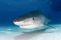 A Tiger shark (Galeocerdo cuvier) in the Bahamas, Caribbean, Atlantic