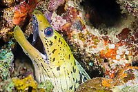 Fimbriated moray eel, Gymnothorax fimbriatus, Puerto Galera, Philippines, Pacific Ocean