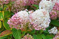 Hydrangea paniculata 'Vanilla Strawberry' aka Renhy, First Editions