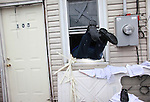 Thomas Carr enters his home through the window to unlock the front door during a Humane Society rescue call of his cat, Bunny, and dog, King, in Island Park in Long Island, New York, on Wednesday, November 07, 2012. Many residents evacuated in a hurry without the means to take their pets, nor without realizing it may be days before they could return to rescue them. (Photograph by Yana Paskova for The Humane Society)