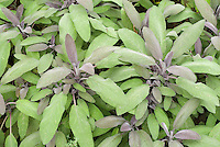 Salvia officinalis 'Purpurescens' Purple leaved culinary sage herb foliage details growing in garden, fresh