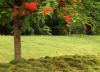 Lush Gulmohar and lawn in a garden.