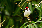 A yellow-billed cardinal perches in a tree in the Pantanal, Mato Grosso, Brazil.