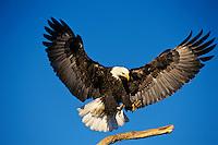 Bald eagle (Haliaeetus leucocephalus) landing.