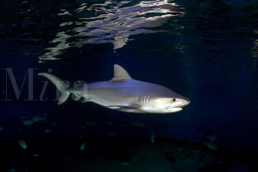 The tiger shark, Galeocerdo cuvier, reaches over 18 feet in length and can exceed 2000 lbs.  Hawaii.