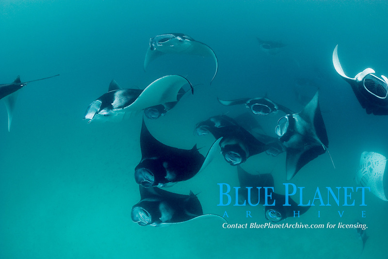 reef manta rays, Mobula alfredi, feeding on plankton, Hanifaru Bay, Hanifaru Lagoon, Baa Atoll, Maldives, Indian Ocean