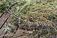 Beifuss in einem Korb, trocknen, Ernte, Kräuterernte, Gewöhnlicher Beifuß, Beifuss, Artemisia vulgaris, Mugwort, common wormwood, L'Armoise commune, Armoise citronnelle