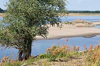 Weide am Ufer der Elbe, Elbtalaue, Salix spec., Weiden