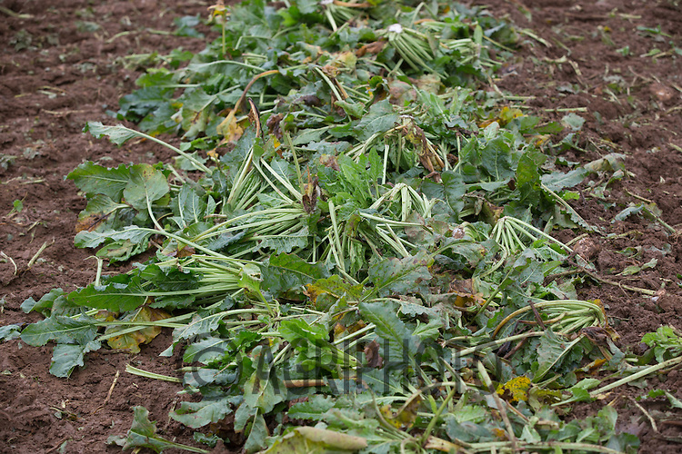 Sugar beet tops in rows ready for being used as sheep fodder <br /> Picture Tim Scrivener 07850 303986 tim@agriphoto.com<br /> ….covering agriculture in the UK….