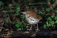 Wood Thrush, Hylocichla mustelina,adult, High Island, Texas, USA
