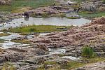 Common Hippopotamus (Hippopotamus amphibius) and Waterbuck (Kobus ellipsiprymnus) on riverbank, Olifants River, Kruger National Park, South Africa
