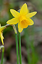 Daffodil (Narcissus 'Tete a Tete'), mid March.