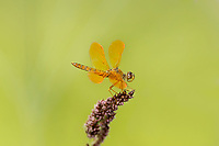 304570022 a wild male mexican amberwing perithemis intensa perches on a flower stem along the edge of roper lake in roper lake state park cochise county arizona
