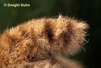 MA26-089b  Bobcat - young, close-up of tail - Felis rufus