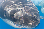 Guadalupe Island, Baja California, Mexico; a tight head shot of a large, adult male Great White Shark (Carcharodon carcharias)