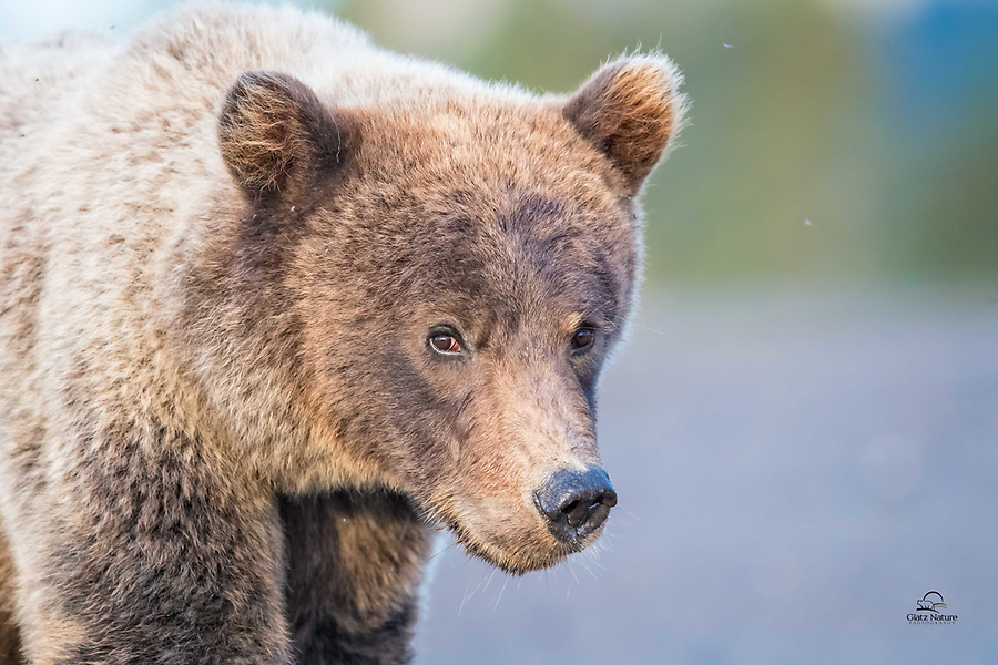 Young Brown Bear walking the beach above us in the morning light.  Long lenses allow these close glimpses into the eyes of a wild animal and their wild world.