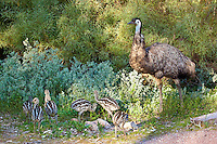 Emu father w chicks, Wilpena Pound, Flinders Range, SA, Australia