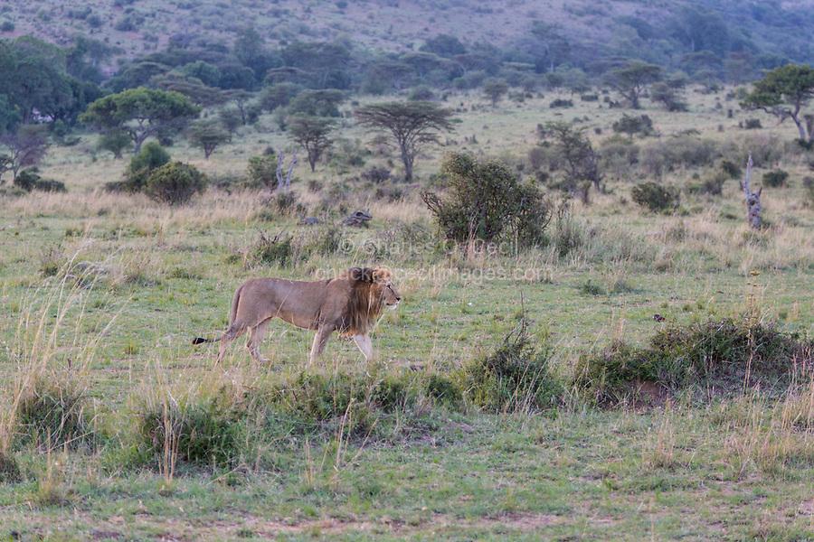 Tanzania. Serengeti. Male Lion Walking.