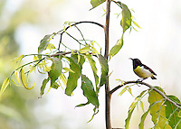 Stock image Sunbird Purple-rumped  female sitting on a stem of Ashoka tree.<br /> <br /> This photo is one of the Indian birds images on this gallery.