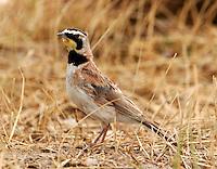 Adult male horned lark
