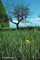 MD06-001b  Dandelion - lone flower in a meadow - Taraxacum officinale