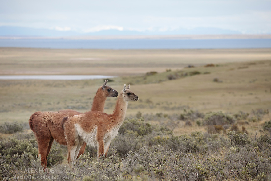 Guanaco (Lama guanicoe) grazing on grassland plain, Patagonia, Chile. Novmeber.