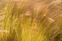 The tall grass waves in the wind, with seed heads of tan and brown on stalks of green.