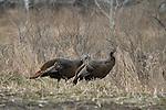 Eastern wild turkey - hen