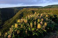 Tal im Inselzentrum, Ingwerlilie (Hedychium gardnerianum) auf der Insel Flores, Azoren, Portugal