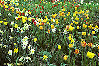 HS08-016d  Tulip garden - Tulipa spp. mixed with daffodils - Narcissus spp.