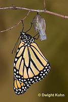 MO04-555z    Monarch emerging from chrysalis,  Danaus plexipuss
