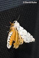 0510-1013  Moth on Window Screen Displaying Bold Orange Warning Colors (Toxic Warning), Salt Marsh Moth - Hodges#8131, Estigmene acrea  © David Kuhn/Dwight Kuhn Photography
