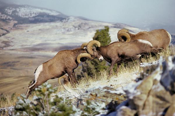 Rocky Mountain Bighorn Sheep (Ovis canadensis) rams engaged in dominance battle.  Western U.S., November..