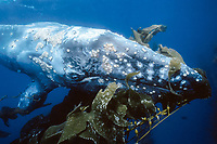 gray whale, Eschrichtius robustus, calf, yearling, in kelp forest, California, USA, Pacific Ocean
