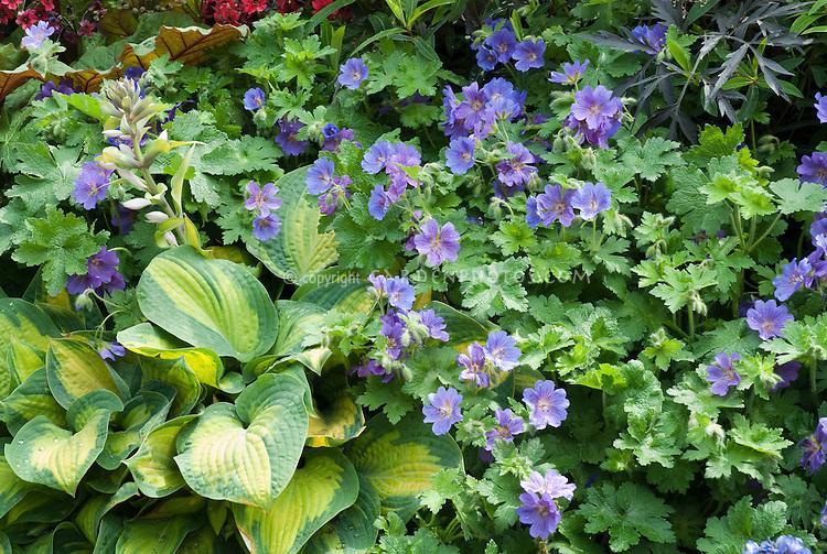 Hosta, Geranium Rozanne, Bergenia, Sambucus Black Lace, for beautiful planting combination of flowering plants and foliage planting