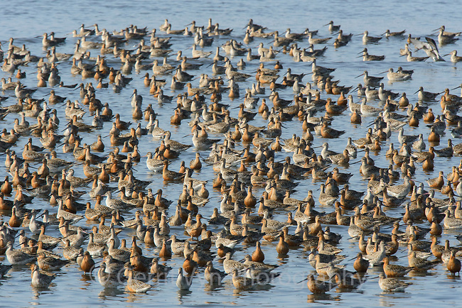 Flock of roosting Bar-tailed Godwits in the Yellow Sea. Yalu jiang, China. April.