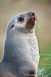 Female Antarctic Fur Seal (Arctocephalus gazella). Grytviken, South Georgia, South Atlantic.