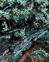 Rhododendrons and boulders in Rock City; Cooper's State Forest, WV