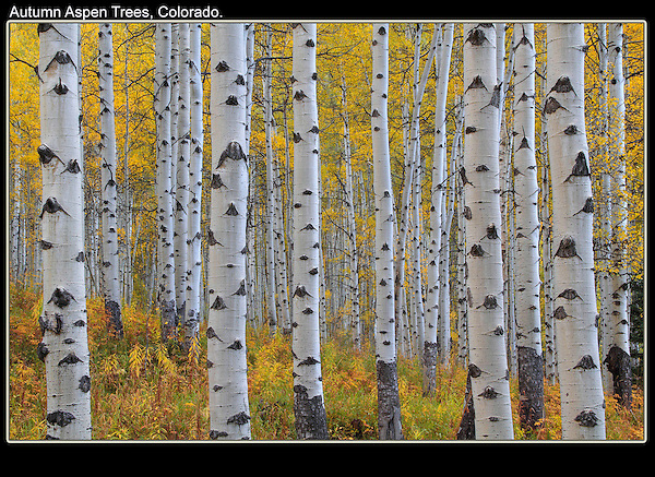 Aspen trees begin to turn yellow in mid to late-September. Rocky Mountain National Park.<br /> John leads photo tours in the Park, including  Boulder and Denver. Year-round.<br /> Click the above  CONTACT button.