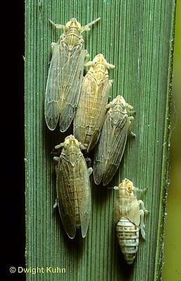 PH01-046z  Planthoppers on cord grass - salt marsh N.J. -  Prokelisia marginata